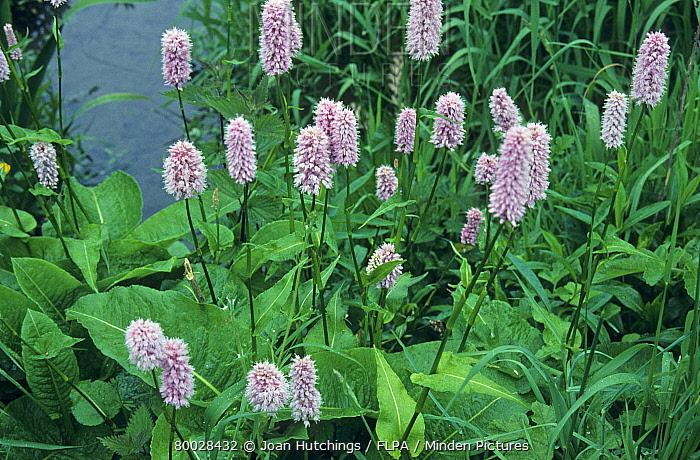 Common Bistort (Polygonum bistorta) flowering  -  Joan Hutchings/ FLPA
