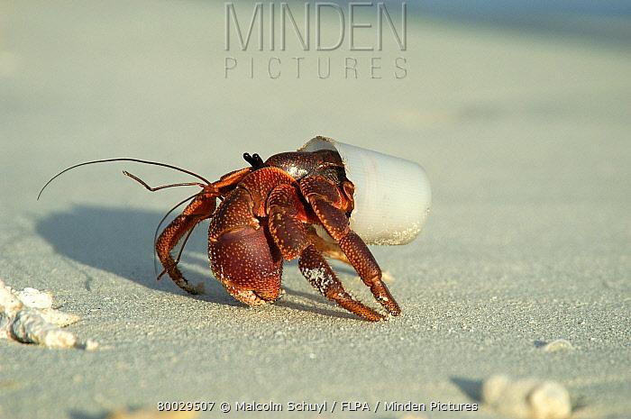 Hermit Crab (Paguroidea) living in plastic cup, Maldives  -  Malcolm Schuyl/ FLPA