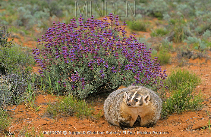 American Badger (Taxidea taxus) adult beside flowering bush, Utah  -  Jurgen and Christine Sohns/ FLPA