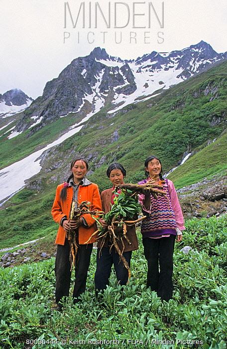 Tibet, Porters holding roots of Anisodus luridens, used for treating yaks, Showa La  -  Keith Rushforth/ FLPA