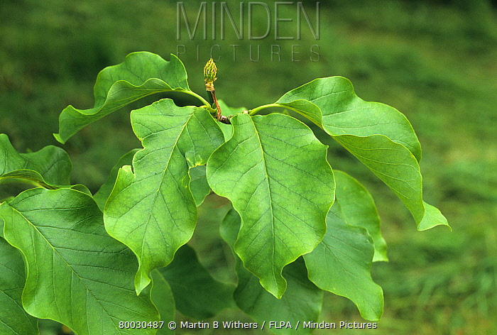 Minden Pictures Stock Photos Cucumber Tree Magnolia Acuminata