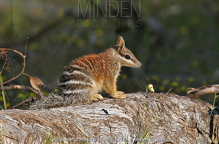 Numbat (Myrmecobius fasciatus) sitting on log, Dryandra, Western Australia  -  Martin Withers/ FLPA