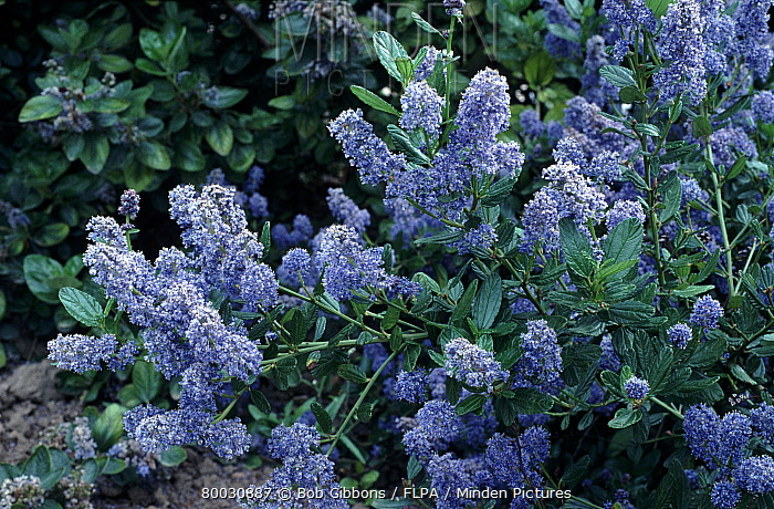 Minden pictures stock photos ceanothus thyrsiflorus cascade ceanothus thyrsiflorus cascade flowering pretty blue flowers bob gibbons flpa mightylinksfo