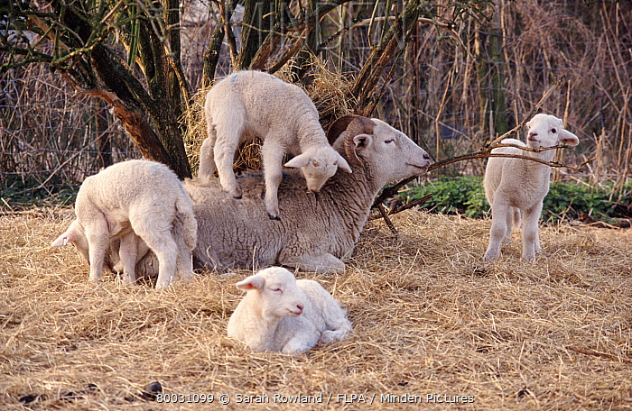 Wiltshire Horn ewe with lambs, one on her back on straw bedding outside  -  Sarah Rowland/ FLPA
