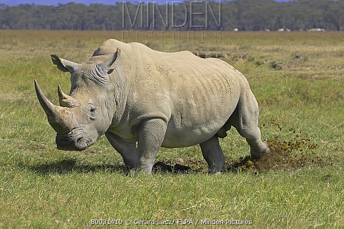 White Rhinoceros (Ceratotherium simum) adult scaping dung with hind foot, marking territory, Kenya  -  Gerard Lacz/ FLPA