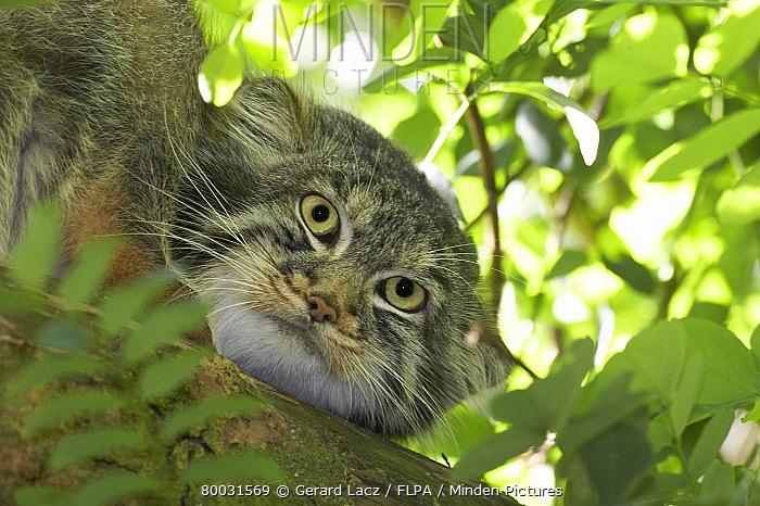 Pallas' Cat (Felis manul) adult on branch, head  -  Gerard Lacz/ FLPA