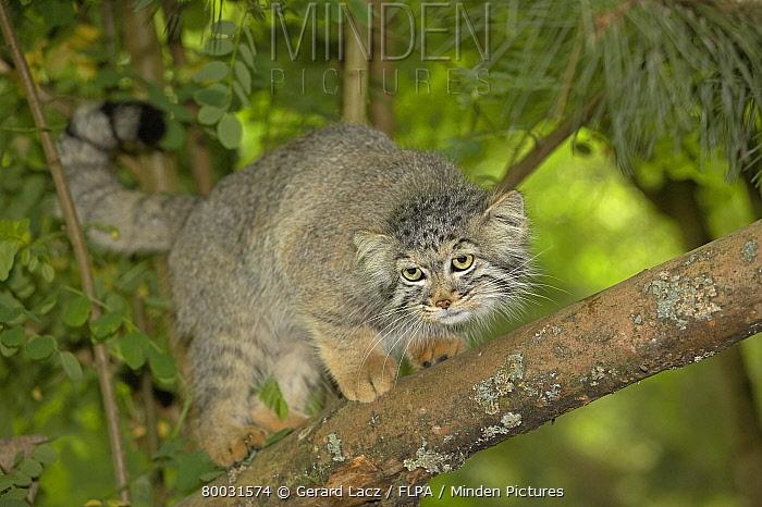 Pallas' Cat (Felis manul) adult on branch  -  Gerard Lacz/ FLPA
