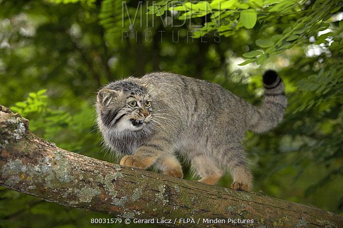 Pallas' Cat (Felis manul) adult on branch, snarling  -  Gerard Lacz/ FLPA