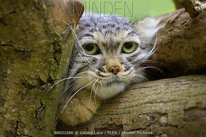 Pallas' Cat (Felis manul) adult, head  -  Gerard Lacz/ FLPA