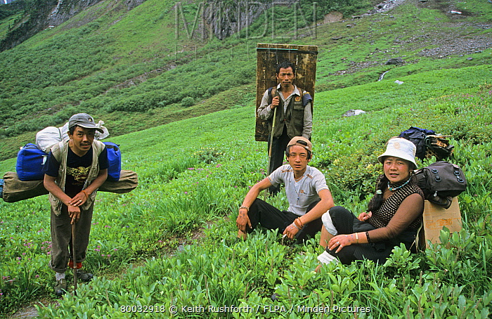 Tibet, Porters amidst Dwarf Willow (Salix) on upper slopes of Showa La, Southeast Tibet  -  Keith Rushforth/ FLPA
