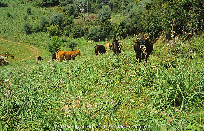 Environmental damage by animals, Domestic Cattle grazing in meadow, overgrown with Asphodels due to overgrazing, Corsica  -  Derek Hall/ FLPA