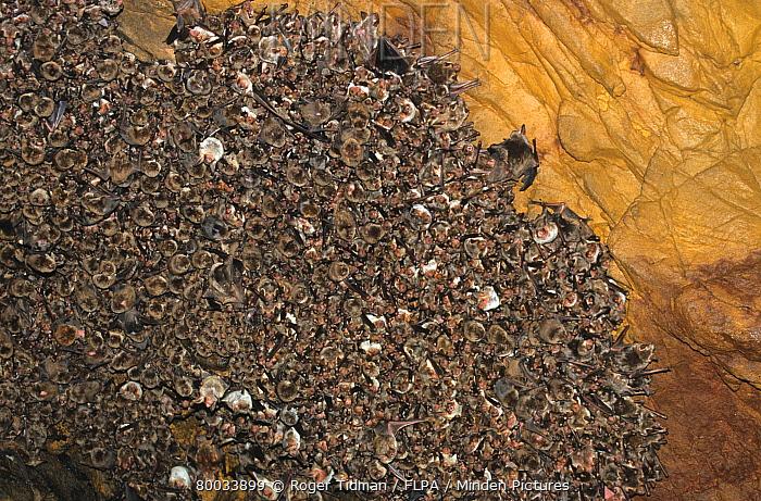 Greater Mouse-eared Bat (Myotis myotis) breeding colony with Schreibers Long-fingered Bat (Miniopterus schreibersii), Spain  -  Roger Tidman/ FLPA