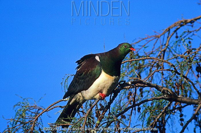 New Zealand Pigeon (Hemiphaga novaeseelandiae) in tree, South Island, New Zealand  -  R & M Van Nostrand/ FLPA