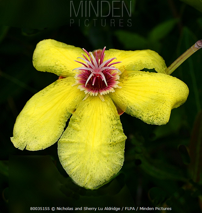 Minden pictures stock photos dillenia luzoniensis yellow flowers dillenia luzoniensis yellow flowers brightens gloom of acidic tropical forest palawan philippines mightylinksfo