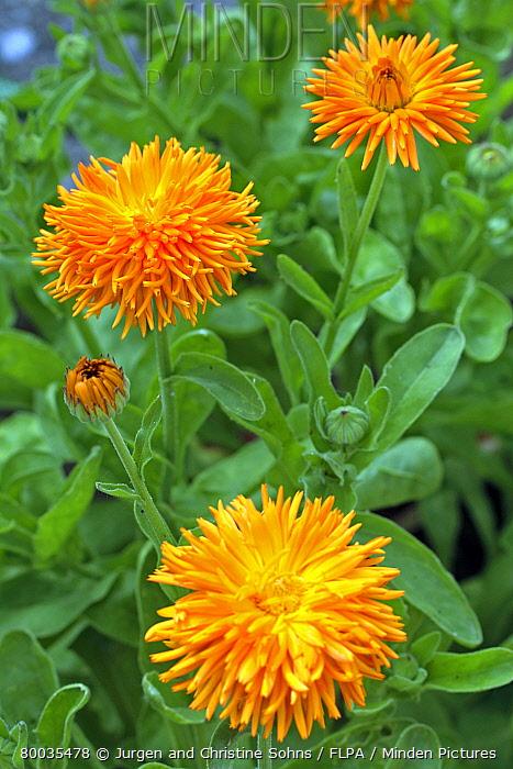 Common Marigold (Calendula officinalis) flowering in garden  -  Jurgen and Christine Sohns/ FLPA