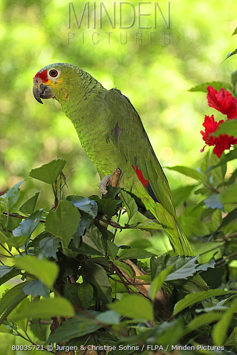 Red-lored Parrot (Amazona autumnalis) adult in tree, Roatan, Honduras  -  Jurgen and Christine Sohns/ FLPA
