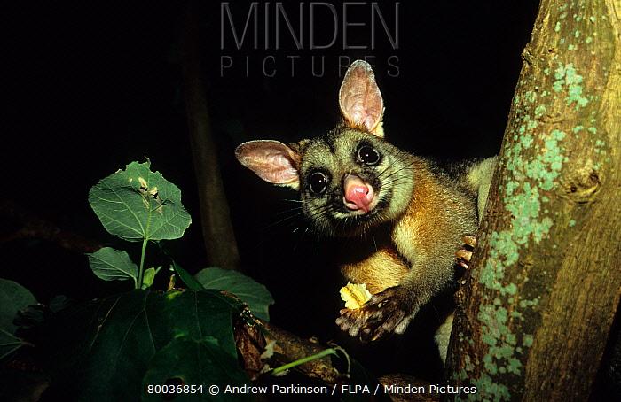 Common Brushtail Possum (Trichosurus vulpecula) adult feeding at night, urban park, Hervey Bay, Queensland, Australia  -  Andrew Parkinson/ FLPA