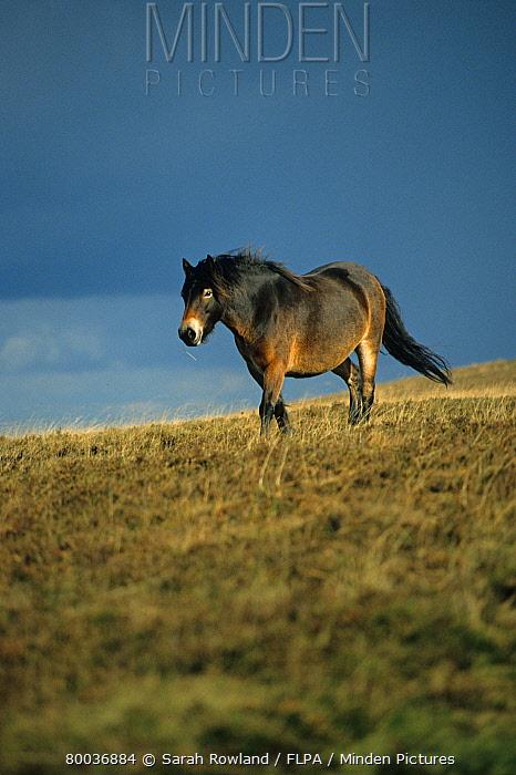 Exmoor Pony, lone adult on moor, Exmoor, England  -  Sarah Rowland/ FLPA