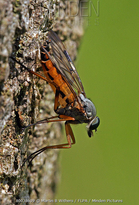 Snipe Fly (Rhagio scolopacea) adult on tree trunk  -  Martin Withers/ FLPA