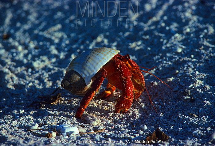Hermit Crab (Dardanus megistos) walking on beach, Great Barrier Reef, Australia  -  Christiana Carvalho/ FLPA