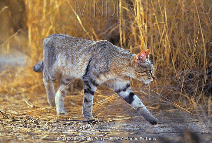 African Wild Cat (Felis lybica) adult walking, Kalahari Gemsbok National Park, South Africa  -  Philip Perry/ FLPA