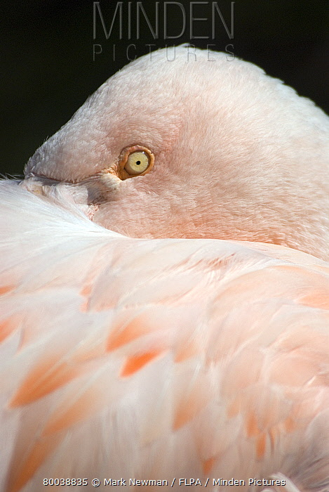 Chilean Flamingo (Phoenicopterus chilensis) adult roosting, close-up of head tucked under feathers  -  Mark Newman/ FLPA