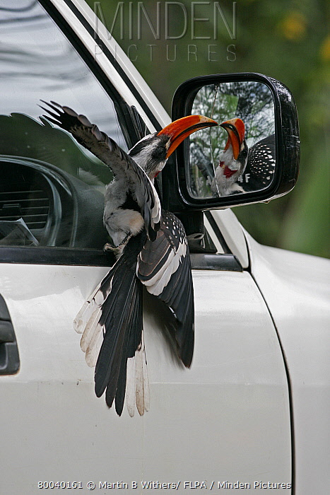 Jackson's Hornbill (Tockus jacksoni) adult male, displaying to own reflection in car mirror, Kenya  -  Martin Withers/ FLPA