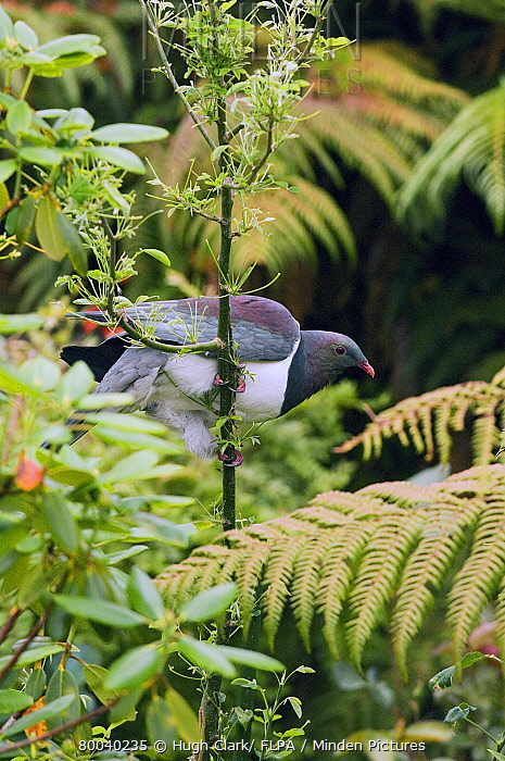 New Zealand Pigeon (Hemiphaga novaeseelandiae) adult, holding on to upright stem, New Zealand  -  Hugh Clark/ FLPA