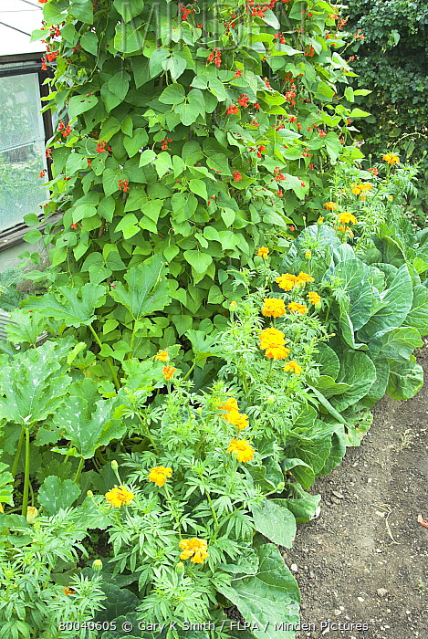 Summer Cabbages Interplanted With African Marigolds To Prevent Against Cabbage Root Fly On Small
