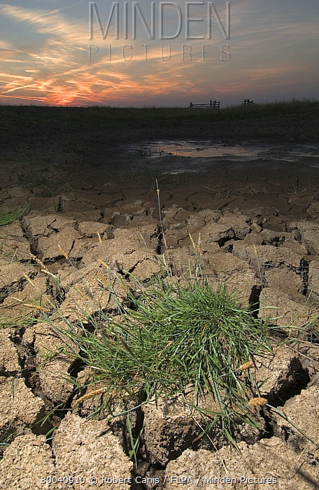 Drought, water shortage, grass on dry, cracked mud, Elmley Marshes National Nature Reserve, Kent, Southeast England, july  -  Robert Canis/ FLPA