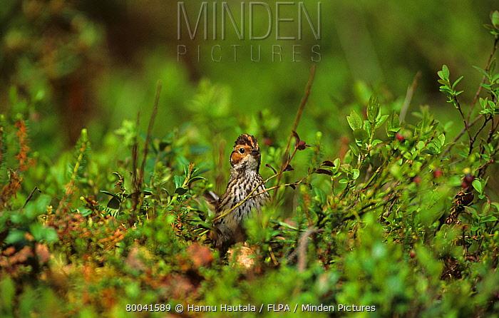 Little Bunting (Emberiza pusilla) adult in vegetation, Finland  -  Hannu Hautala/ FLPA