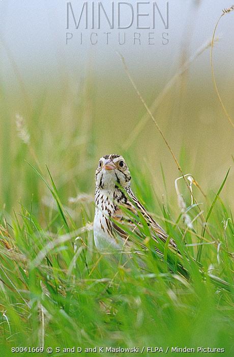 Baird's Sparrow (Ammodramus bairdii) adult in long grass, Montana  -  S & D & K Maslowski/ FLPA