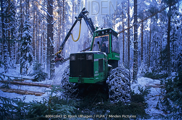 Forestry machine with chains on tyres, felling pine trees in snow covered plantation, Sweden, november  -  Bjorn Ullhagen/ FLPA