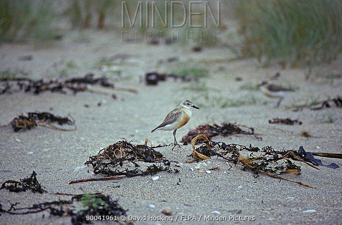 New Zealand Dotterel, Charadrius obscurus  -  David Hosking/ FLPA