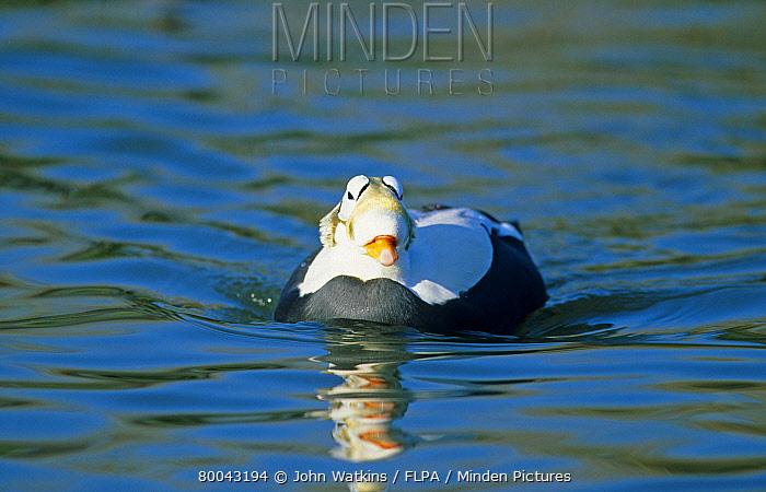 Spectacled Eider (Somateria fischeri) drake swimming, winter  -  John Watkins/ FLPA