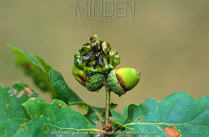 Knopper Gall Wasp (Andricus quercuscalicis) asexual knopper gall on oak acorn  -  Derek Middleton/ FLPA