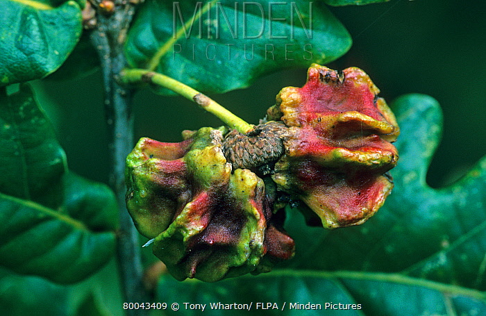 Knopper Gall Wasp (Andricus quercuscalicis) asexual knopper gall on acorn  -  Tony Wharton/ FLPA