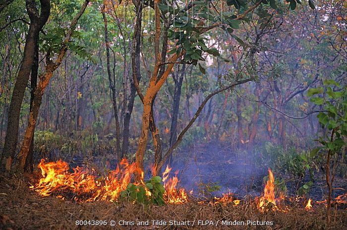 Fire in miombo woodland, Kasanka National Park, Zambia  -  Chris & Tilde Stuart/ FLPA