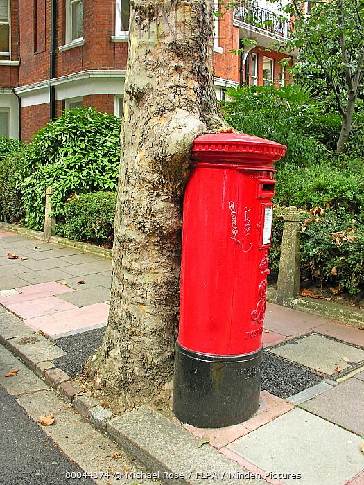 Hyrbid Plane (Platanus x hispanica) trunk engulfing postbox, Kensington, London, England  -  Michael Rose/ FLPA