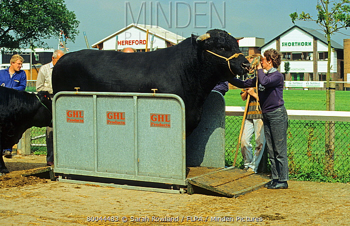 Domestic cattle, Aberdeen Angus, pedigree bull on weighing platform, agricultural show, England  -  Sarah Rowland/ FLPA