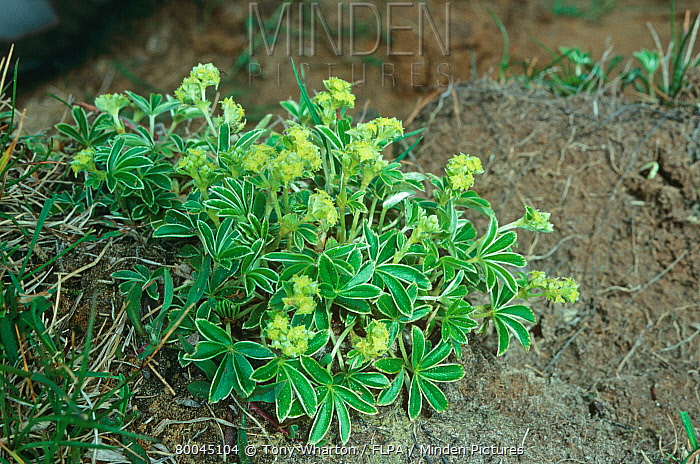 Minden Pictures Stock Photos Alpine Ladysmantle Alchemilla - Alchemilla alpina