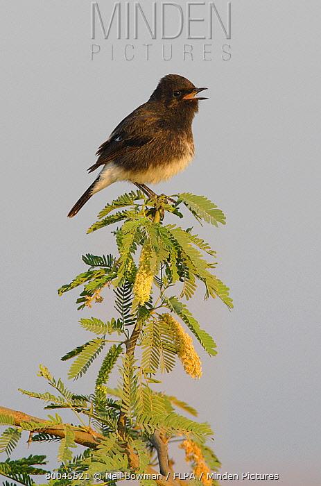 Pied Bushchat (Saxicola caprata) adult male singing, perched in thorn bush, Gujarat, India  -  Neil Bowman/ FLPA