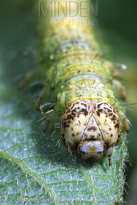 Light Emerald (Campaea margaritata) final instar larva, on sallow leaf, Powys, Wales  -  Richard Becker/ FLPA