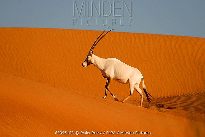 Arabian Oryx (Oryx leucoryx) adult, walking up sand dune at sunrise, Dubai Desert Conservation Reserve, Al Maha, Dubai  -  Philip Perry/ FLPA