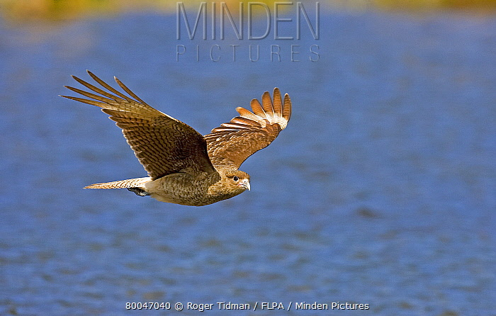 Chimango Caracara (Milvago chimango) adult, in flight over water, Tierra del Fuego National Park, Argentina  -  Roger Tidman/ FLPA