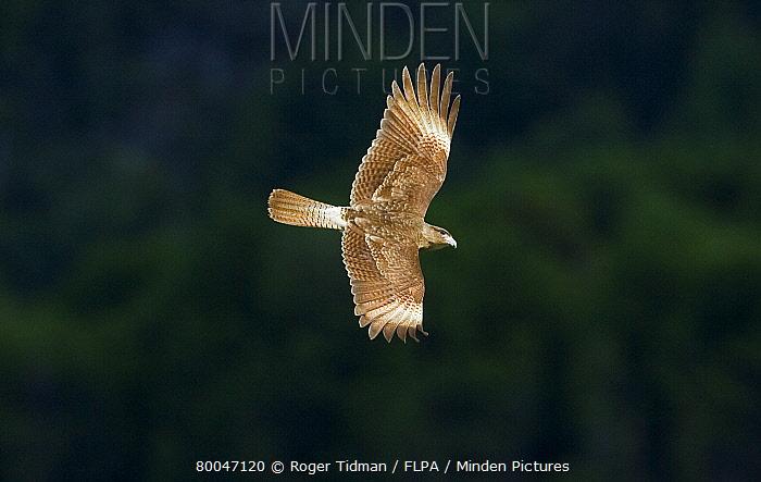 Chimango Caracara (Milvago chimango) adult, in flight, Tierra del Fuego National Park, Argentina  -  Roger Tidman/ FLPA