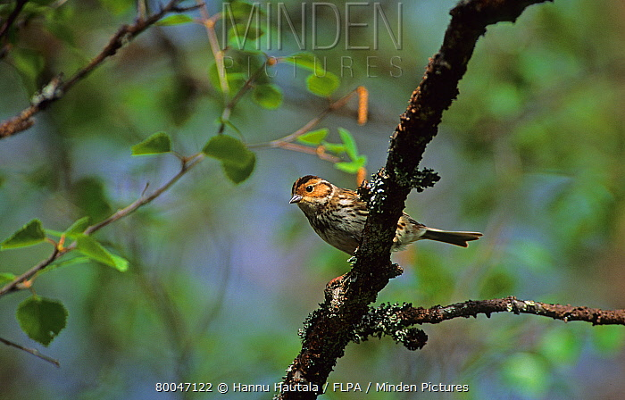 Little Bunting (Emberiza pusilla) adult, perched on branch, Finland  -  Hannu Hautala/ FLPA