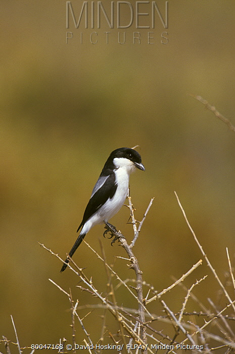 Teita Fiscal (Lanius dorsalis), Kenya  -  David Hosking/ FLPA