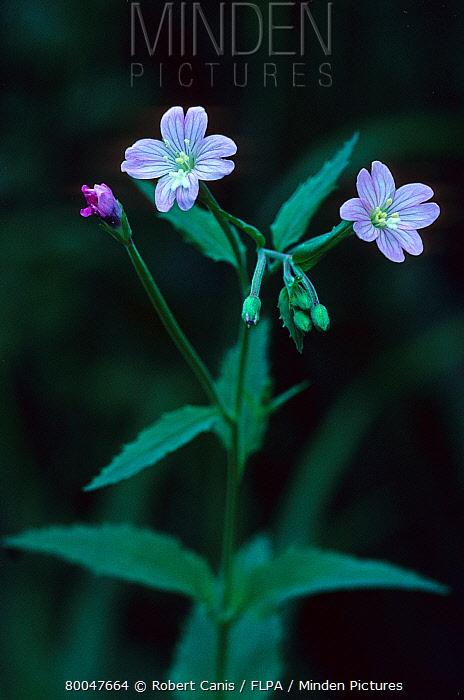 Broad-leaved Willowherb (Epilobium montanum) in flower, North Downs, Kent, England  -  Robert Canis/ FLPA