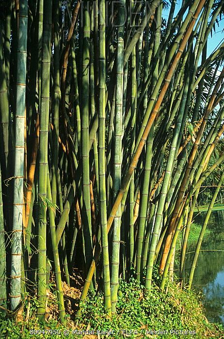 Minden Pictures stock photos - Bamboo (Bambusa sp) stems, growing ...